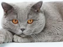 Одна из самых необычных и красивых пород кошек